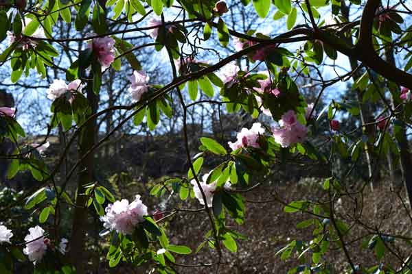 rose rhododendron